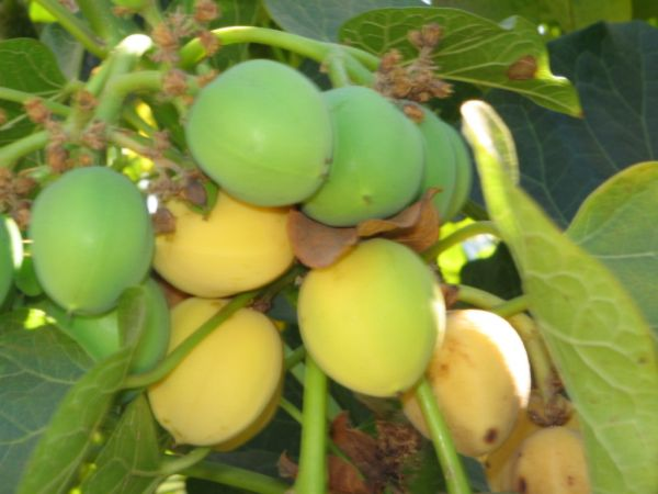 fruits-green-yellow-sriphl-india-20