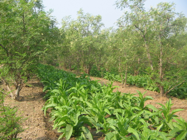 moringa intercropping